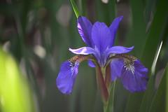 Dannielle's iris... (jrmcmellen) Tags: