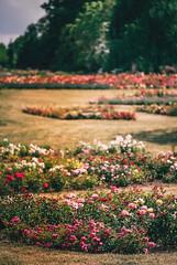 Růže kam se podíváš :-) (Robert Hájek) Tags: flora nature landscape roses czphoto czech sonya7ii sony