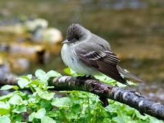 Eastern Wood-Pewee (?) (@Michael) Tags: beavercreekvalleystatepark contopusvirens em1ii easterwoodpewee flycatcher gear minnesota olympus olympus300mmf4 places statepark unknownbird wildlife