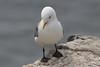 Kittywake (NTG842) Tags: inner farne island northumberlinad uk kittywake sea birds shag cormorant puffin guillimots razorbills gulls kitywakes terns