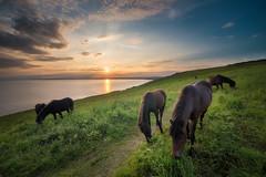 Rame Head Ponies (Timothy Gilbert) Tags: lumix dartmoorpony southwestcoastpath ramehead wideangle sunset coast m43 microfourthirds panasonic laowacompactdreamer75mmf20 microfournerds ultrawide cornwall whitsandbay gx8