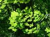 Moorlands Nature Reserve (alh1) Tags: yorkshirewildlifetrust england northyorkshire wigginton backlit leaves sycamore
