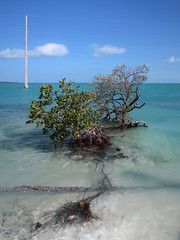 Mangrove weirdoes, almost as weird as yon ocean utility pole. (Tim Kiser) Tags: 2017 20170413 april april2017 atlanticocean atlanticoceanlandscape florida floridabay floridabaylandscape floridakeys floridakeyslandscape floridalandscape gulfofmexico gulfofmexicolandscape img8040 islamorada islamoradaflorida islamoradalandscape monroecounty monroecountyflorida overseashighway southerncoastandislands us1 ushighway1 usroute1 boatlaunch boatlaunchingramp boatramp coastlandscape coastallandscape coastlinelandscape electriclines electricpole landscape mangrove mangrovelandscape mangroveplants mangroveroots mangroveshrubs mostlysunny oceanlandscape overheadelectriclines overheadpowerlines powerlines roots seascape southflorida southernflorida sunnylandscape sunnyseascape telephonepole tropicallandscape utilitypole