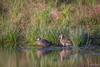 Grey Teal DSC_1931 (BlueberryAsh) Tags: jacanawetlands birds anasgracilis greyteal duck australianbird waterfowl waterbird lake water nikond500 tamron150600 wetland