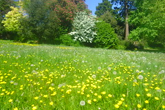 Buttercup Days (Dave Roberts3) Tags: wales newport gwent park bellevue spring springtime magnolia meadow