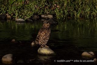黃魚鴞 IMG_3095