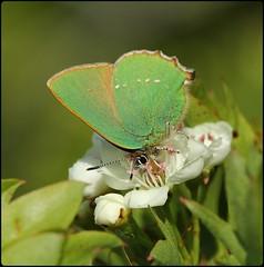 Green Hairstreak - nectaring on hawthorn blossom III (glostopcat) Tags: greenhairstreakbutterfly butterfly hairstreak insect invertebrate macro glos hawthornblossom spring may butterflyconservation prestburyhillnaturereserve