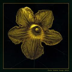 Pumpkin flower (cienne45) Tags: pumpkinflower flower fiore zucchino