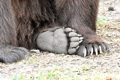 Bear paws (dan487175) Tags: bear bearpaws paws toes claws sole furry fur claw brownbear bearsole wildlifesanctuary germany holiday daytrip grass sitting bigbear orso animal foot nikon nikond4300 rescued cute bigpaw bigfoot muritz bearfoot