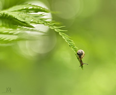 look before you jump! (marianna_a.) Tags: snail fern leaf plant animal green tiny cute mollusk mariannaarmata