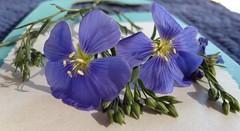Blue Beauties (Mr. Happy Face - Peace :)) Tags: textures patterns texturetuesdays macromademoiselle