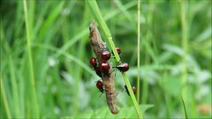Spiked Shieldbug nymphs, Kingmoor Nature Reserve, 6 June 18 (video) (gillean55) Tags: canon powershot sx60 hs superzoom bridge camera north cumbria kingmoor sidings nature reserve carlisle nnr spiked spined shieldbug picromerusbidens nymphs feeding larva film clip video