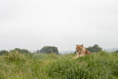 IMG_0554.jpg (Anthony Bishop) Tags: lioness lion whipsnadezoo
