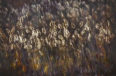 Reeds in the Light (Rusty Russ) Tags: reeds marsh grass brown light color restraint parker river wildlife refuge plum island ma colorful day digital window flickr country bright happy colour eos scenic america world sunset beach water sky red nature blue white tree green art sun cloud park landscape summer city yellow people old new photoshop google bing yahoo stumbleupon getty national geographic creative composite manipulation hue pinterest blog twitter comons wiki pixel artistic topaz filter on1 sunshine image reddit tinder