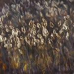 Reeds in the Light thumbnail