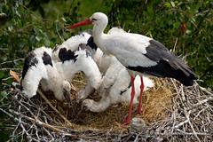 White Stork (My Planet Experience) Tags: ciconiaciconia ciconia stork white cicognabianca bird nest feeding nesting young chiks baby tree nature natural animal wild wildlife wilderness nopeople day color outdoors dombes france f myplanetexperience wwwmyplanetexperiencecom