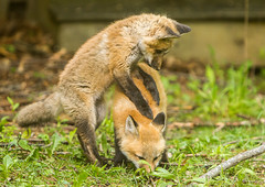 IMGL1393 Pugwash Red Fox Kit(s) (Wallace River) Tags: foxes novascotia pugwashfoxes redfoxes