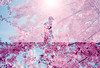 Pink Wind (Hayden_Williams) Tags: analog analogue canonae1 lomography lomo lomochromepurplexr100400 film fd50mmf18 ae1 doubleexposure multipleexposure dream dreamy dreaming purple pink pinkflowers cherryblossom cherry