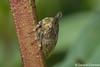 photo-5292772.jpg (GeeC) Tags: animalia arthropoda cambodia hemiptera insecta kohkongprovince membracidae membracoidea nature tatai treehoppers