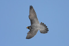 Peregrine......... (klythawk) Tags: peregrine falcoperegrinus falcon birdofprey wildlife nature spring wildandfree sunlight bluesky grey yellow blue black white nikon d500 300mmpf 14xtc eastmill belper derbyshire klythawk