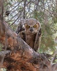 A Wary Look (dan.weisz) Tags: greathornedowl nest owl bird birdofprey raptor tucson nikond7200