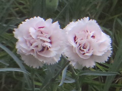 pink duo (river crane sanctuary) Tags: carnatons flowers scent nature