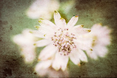 Astrantia (judy dean) Tags: 2018 judydean sezincote velvet56gardens plants lensbaby sliderssunday topaz astrantia