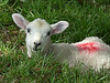 Lamb (alison's daily photo) Tags: lamb animal field grass alone 118picturesin2018 94118lostorfound 7dwf fauna