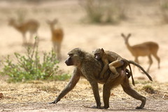 Hitching a ride (Jonas Van de Voorde) Tags: pendjari benin westafrica jonasvandevoorde safari wildlife nature animals