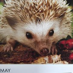 2018-5-31 May hedgehog