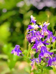 (Scorpiol13) Tags: nature noperson outdoors springtime fragility freshness delicate blooming blossom bloom columbines purple petals flower