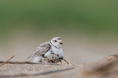 Mother Dear (PhillymanPete) Tags: shorebird pipingplover sand wildlife nesting babies charadriusmelodus bird plover mother chicks beach nature nikon d500