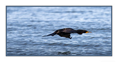 Gotta fly, gotta fly, gotta fly, fly, fly! (JohnKuriyan) Tags: alameda california elsie roemer bird sanctuary doublebreasted cormorant