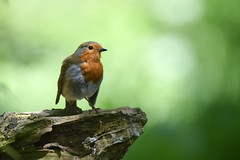 sometimes my thoughts are all I have (Paul Wrights Reserved) Tags: robin robins robinredbreast bird birding birdphotography birds birdwatching perched perching perchedbird bokeh bokehphotography mood thought think thinking