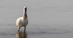 Spoonbill - Middleton Lakes (irelaia) Tags: spoonbill middleton lakes rspb fishing wild bird rare visitor