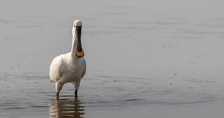 Spoonbill - Middleton Lakes