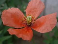 flower (Kero-ppi) Tags: flower orange macro