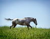 appaloosa (Jen MacNeill) Tags: appy appaloosa horse horses spring summer equine meadow pasture grass green lush gallop canter run