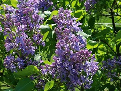 Lilacs Blooming In Front Yard 014 (Chrisser) Tags: flowers lilacs shrubs syringavulgaris oleaceae nature ontario canada canoneosrebelt6i canonefs1855mmf3556isstmlens gardening garden fourseasons spring closeups
