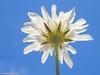 "Wildflower (Pycnocomon rutifolium) (Valter Jacinto | Portugal) Tags: europe portugal algarve vilarealdesantoantónio plantae magnoliophyta magnoliopsida dipsacales dipsacaceae pycnocomon pycnocomonrutifolium flores flowers wildflowers whiteflowers nature ""nature photographyplantasplantsflorataxonomybinomialpycnocomon rutifoliumtaxonomygenuspycnocomontaxonomyfamilydipsacaceaetaxonomyorderdipsacalestaxonomyclassmagnoliopsidataxonomyphylummagnoliophytataxonomykingdomplantaegeoregioneuropegeocountryportugalnikon coolpix p900"