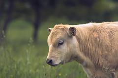 Veau au pré (Marc Andreu) Tags: veau veaux vache portrait animal ferme desvaches prairie agriculture duboeuf terresagricoles rural agriculteur boucherie depleinair pays limousine marcandreu pâturer pâturage bœuf bétail