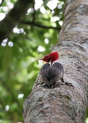 Pale-billed Woodpecker (rudygarns) Tags: costarica bird birds wildlife