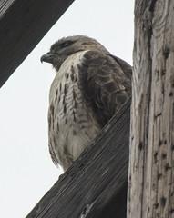 Red-tailed hawk (ewan.osullivan) Tags: bird hawk redtailedhawk hornpond buteojamaicensis hornpondmountain woburn