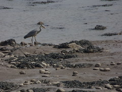 Heron (LouisaHocking) Tags: beach ocean sea coastal british wildlife nature wild sully south wales bird heron