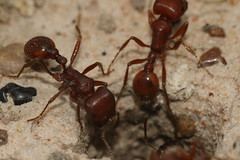 In and out at the ant hill (interactive_ace) Tags: texas big red ants macro 100mm 25mm extension tube canon 7dmk2 triple flash mondays all natural