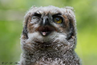 Great Horned Owl (fledgling) with 3rd eyelid (Nicitating membrane)