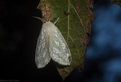 Euzora collucens (dustaway) Tags: arthropoda insecta lepidoptera erebidae lymantriinae euzora rprr rotaryparkrainforestreserve lismore northernrivers australia australianmoths australianinsects