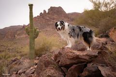 Desert Hike (Jasper's Human) Tags: aussie australianshepherd dog desert cactus mountain lostgoldmine