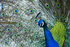 Peacock (Adeel Javed's Photography) Tags: peacock bird animal wild life islamabad pakistan adeel javed