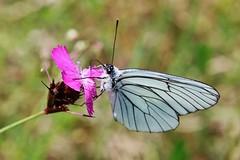Baum-Weißling (Aporia crataegi) (Hugo von Schreck) Tags: hugovonschreck schmetterling butterfly falter insect insekt macro makro baumweisling aporiacrataegi canoneos5dsr buzznbugz
